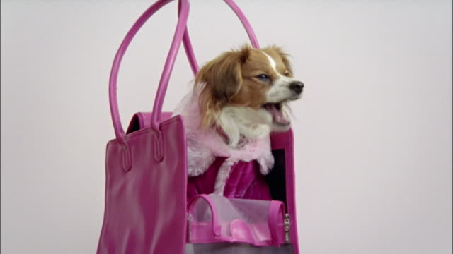 medium shot zoom out papillon wearing pink coat and sitting in pink handbag/ zoom in papillon/ california - borsetta video stock e b–roll