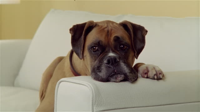 medium shot zoom out portrait boxer lying with head on arm of white leather sofa - animal head stock videos & royalty-free footage
