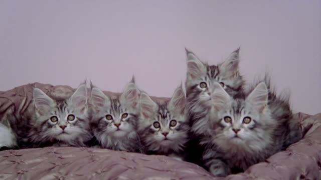 Medium shot zoom out wide shot five Maine Coon kittens sitting in bed/ California