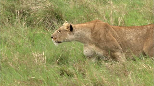 Medium show PAN lioness crouching + walking through grass / Masai Mara, Kenya