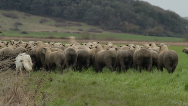 medium side shot of dog herding sheep - flock of sheep stock videos and b-roll footage