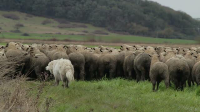Medium side shot of dog herding sheep (close up)