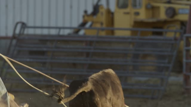 vidéos et rushes de medium slow motion panning shot of men on horses roping bull / lehi, utah, united states - lehi