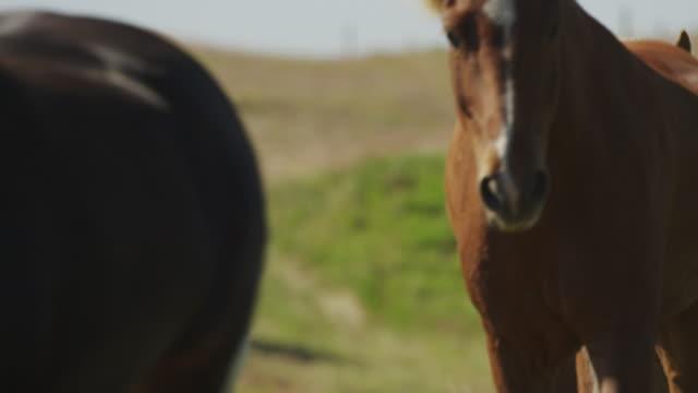 Medium slow motion shot of Icelandic horses approaching / Rangarvallasysla, Iceland