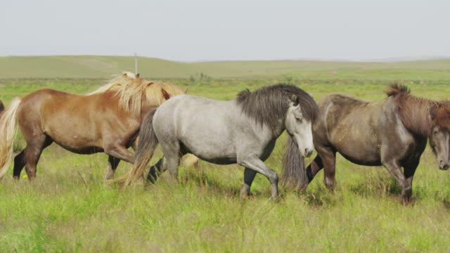 vidéos et rushes de medium slow motion tracking shot of icelandic horses walking in pasture / rangarvallasysla, iceland - animaux au travail