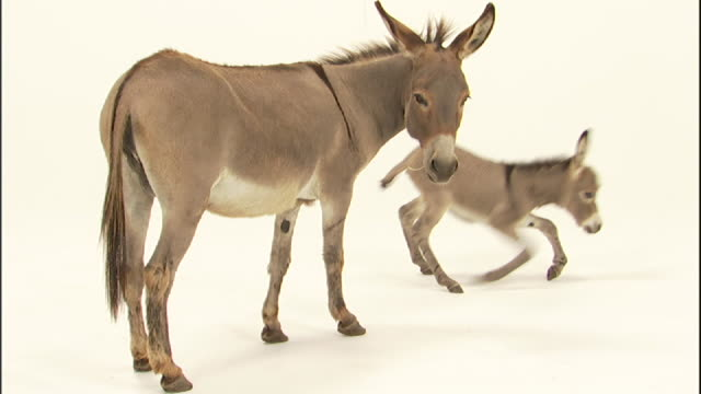 Medium static - A donkey and her foal interact on a white surface.