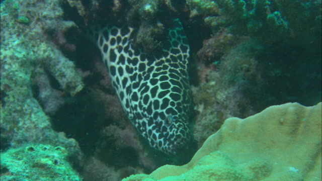 medium static - a laced moray eel hides in a coral reef as other fish swim by / heron island, australia - moray eel stock videos and b-roll footage