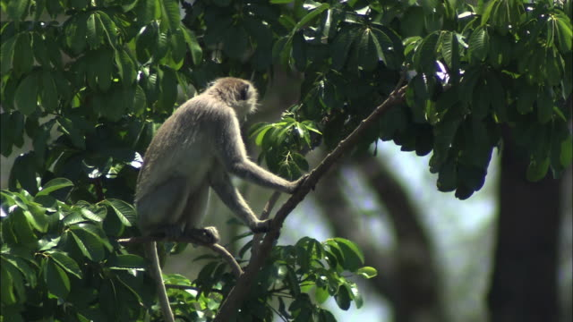 medium static - a monkey calls from a tree, then climbs down. / zambia - audio available stock videos & royalty-free footage