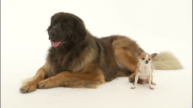 medium static - a tibetan mastiff and a dandie dinmont sit side by side until the dandie walks away. - largo descrizione generale video stock e b–roll