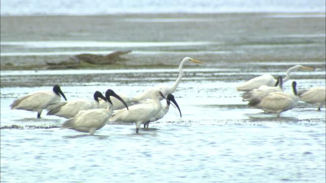 medium static - a yellow-billed egret wades next to several black-headed ibis in a marsh. / sri lanka - sri lanka stock videos & royalty-free footage