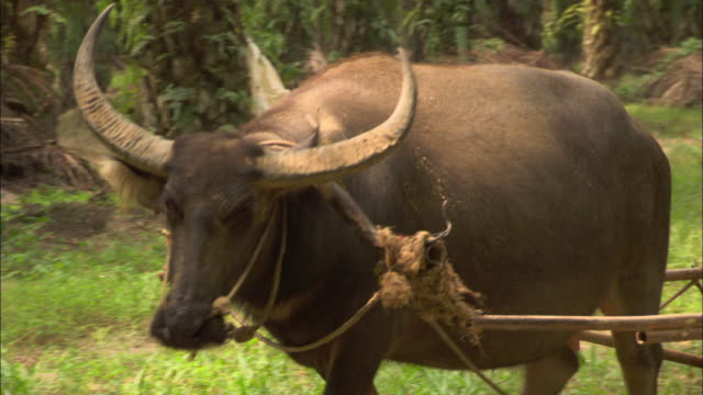 medium static - an ox pulls a cart filled with palm fruits. / malaysia - ox cart stock videos & royalty-free footage