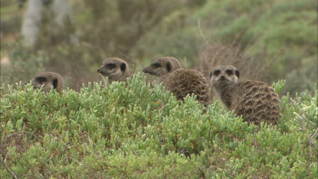 medium static - meerkats look around nervously / south africa - medium group of animals video stock e b–roll
