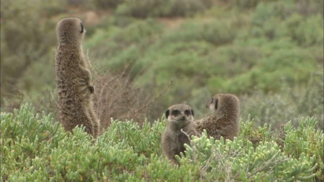 medium static - meerkats stand and watch warily / south africa - kleine gruppe von tieren stock-videos und b-roll-filmmaterial
