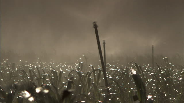 Medium static - Mist from a sprinkler floats over wet sugarcane leaves in Hawaii. / Hawaii, USA