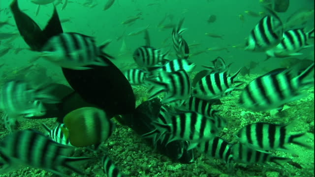 medium static - pilot fish and other fish swarm along the ocean floor. - pilot fish stock videos & royalty-free footage