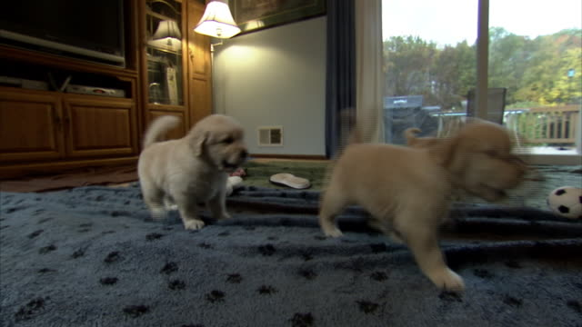 Medium static - Puppies play in a living room.