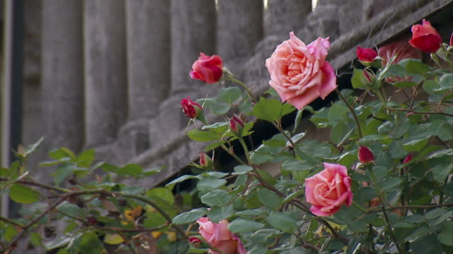 medium static - roses bloom near stone columns. / italy - pink colour stock videos & royalty-free footage