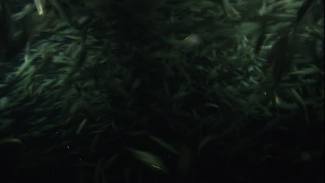 medium static - thousands of fish swim in a school. / north carolina, usa - undersea stock videos & royalty-free footage