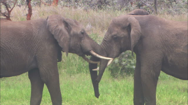 medium static - two african elephants intertwine their trunks and push against each other / kenya - interlocked stock videos & royalty-free footage