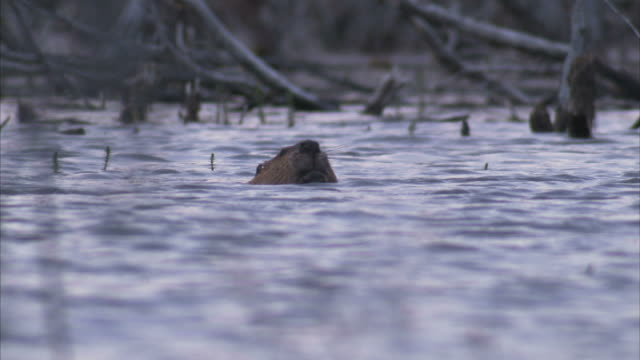 """medium static-a beaver swims with its head above water. / alaska, usa"" - beaver stock videos & royalty-free footage"