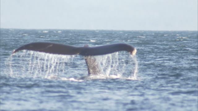 """Medium static-A whale dives and exposes its fluke. / Alaska, USA"""