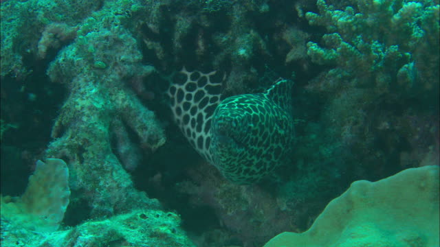 medium steadicam - a laced moray eel hides in a coral reef / heron island, australia - moray eel stock videos and b-roll footage