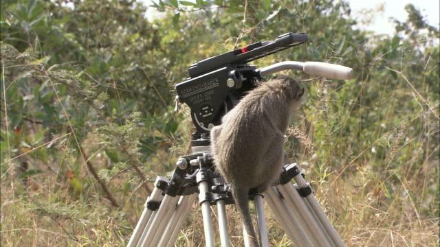 Medium steadicam tilt-down - A vervet monkey climbs down from a camera and tripod and walks away / South Africa