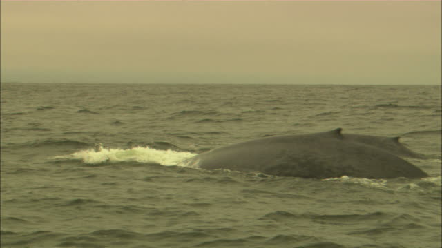 medium steadicam tracking-right - blue whales surface and dive / usa - blauwal stock-videos und b-roll-filmmaterial