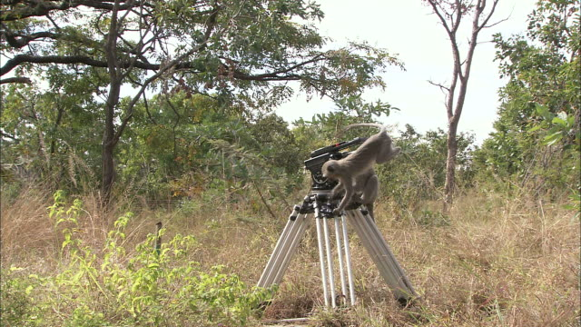 medium steadicam zoom-in - two vervet monkeys climb on a video camera tripod / south africa - filmkamera stock-videos und b-roll-filmmaterial