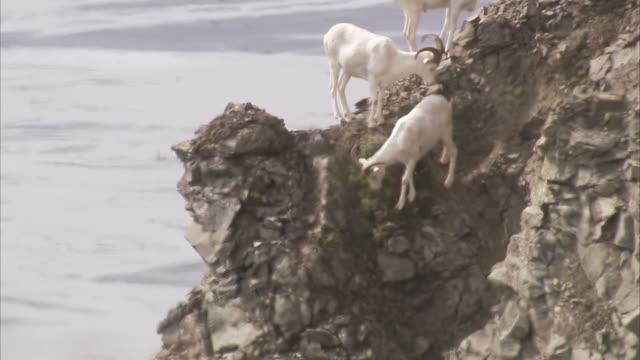 """""""medium tilt-down-a dall sheep moves nimbly on a rocky ledge. / alaska, usa"""" - liten djurflock bildbanksvideor och videomaterial från bakom kulisserna"""