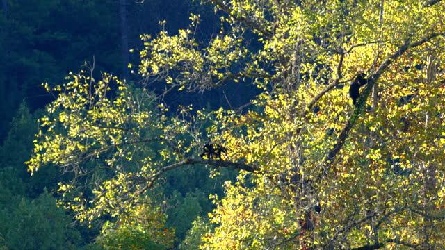 vídeos y material grabado en eventos de stock de medium, tracking, a bear sow and her two cubs climb a tree in autumn, tennessee, usa - medium group of animals