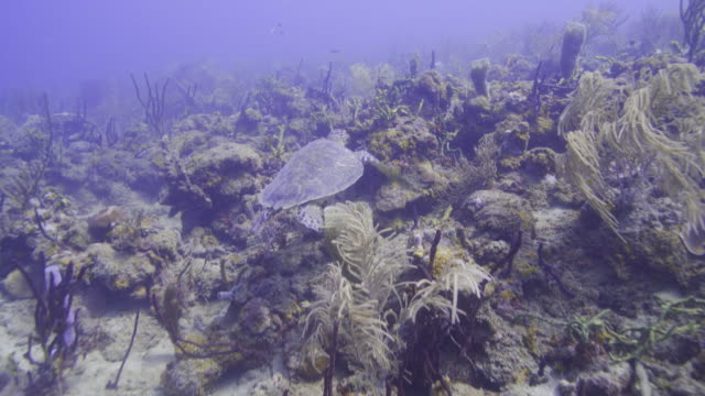 Medium tracking shot of sea turtle swimming / St. Georges, Greneda
