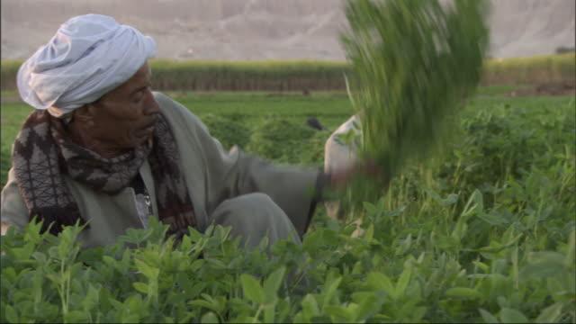 vídeos de stock, filmes e b-roll de medium, tracking-left tracking-right - farmhands harvest a crop / egypt - egito