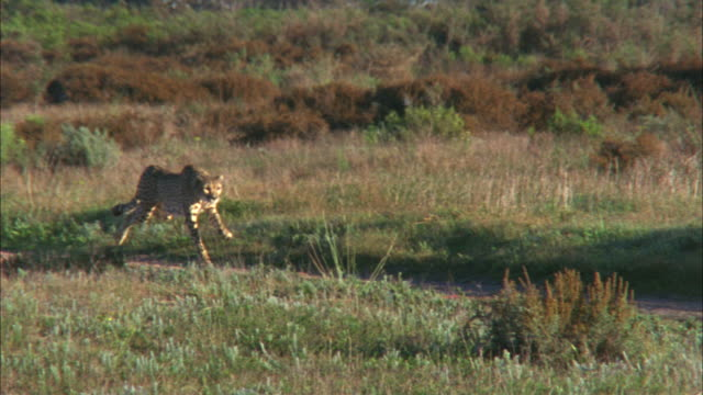 Medium tracking-right - A cheetah chases prey / South Africa