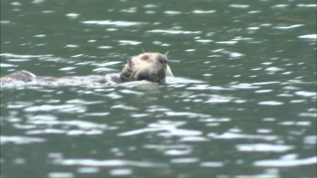 medium tracking-right - a sea otter swims in rippling water / afognak, alaska, usa - otter stock videos and b-roll footage