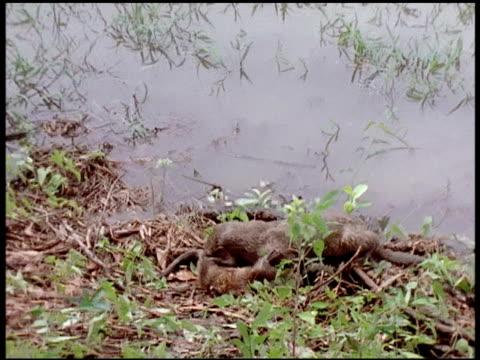 vídeos y material grabado en eventos de stock de medium - nutria de río