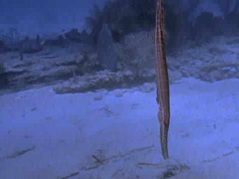 medium - trumpet fish stock videos & royalty-free footage