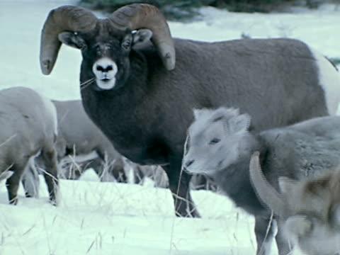 medium - bighorn sheep stock videos & royalty-free footage