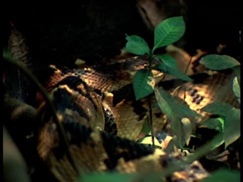 medium - bushmaster snake stock videos & royalty-free footage