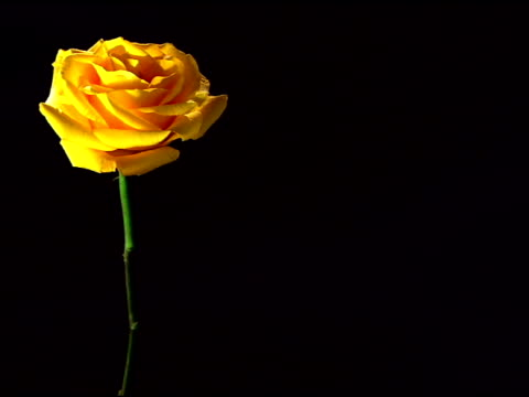 vídeos de stock e filmes b-roll de medium view of a single yellow rose framed left rack focusing to blurred against a black background. - caule de planta