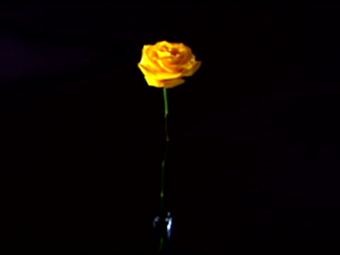 vídeos de stock e filmes b-roll de medium view of a single yellow rose rack focusing to blurred against a black background. - caule de planta