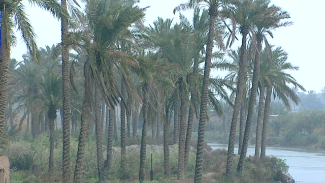 medium view of lush vegetation and a palm grove on the bank of the euphrates river. al-qurnah is where the tigris and euphrates join to become shatt... - palm leaf stock videos & royalty-free footage