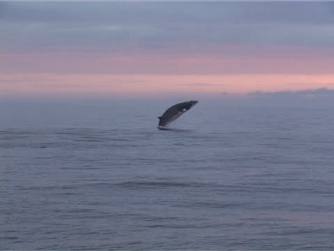 medium wide shot of minke whale breaching left to right against pink/ blue sunset. - whale stock videos & royalty-free footage