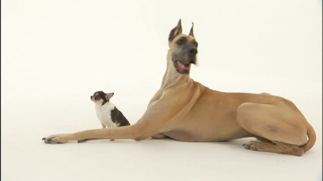 Medium zoom-in - A Chihuahua sits between the long legs of a Great Dane.