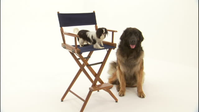 Medium zoom-in - A Japanese Chin dog barks from a director's chair while a Leonberger sits quietly nearby.