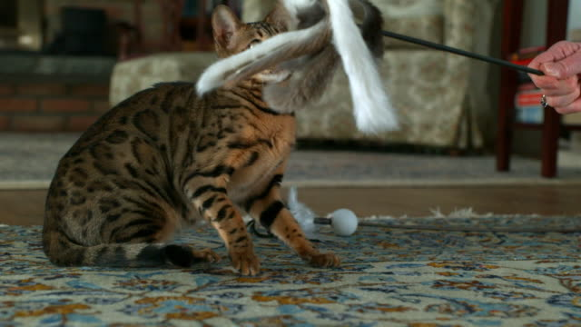 Medium zoom-out - A Bengal kitten plays with a furry toy.