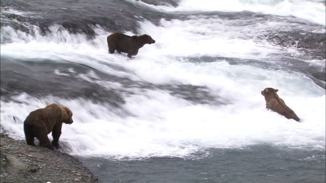 medium-long shot of three bears in the water on the look out for fish - medium group of animals stock-videos und b-roll-filmmaterial