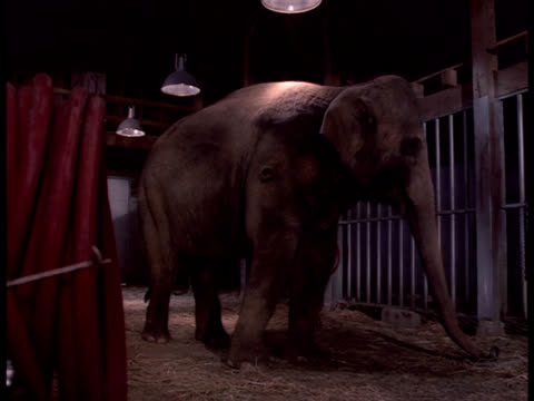 medium-shot of an elephant standing in an enclosure. - cage stock videos & royalty-free footage