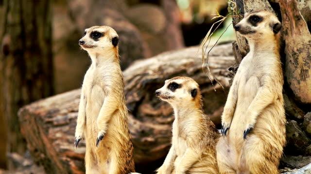 meekat looking alertness in an open khao kaew zoo. cnglnat1094 - meerkat stock videos & royalty-free footage