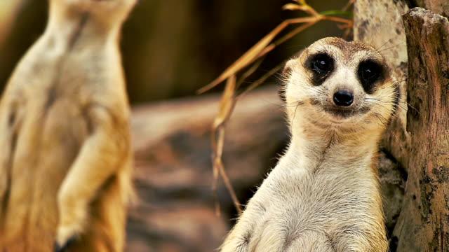 vídeos de stock e filmes b-roll de meekat olhando alerta em um jardim zoológico de khao kaew aberta. cnglnat1094 - jardim zoológico